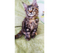 Невероятно красивые крупные котята Мейн-куна - Кошки в Крыму
