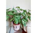 Продам цветы в отличном состоянии - Саженцы, растения в Севастополе