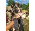Продаются щенки алабая - Собаки в Саках