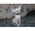 Котята Канадского сфинкса, профессиональное  разведение - Кошки в Крыму