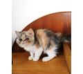 Экзотические короткошерстные кошечки - Кошки в Крыму