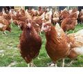 Куры только молодка различные породы с доставкой на дом по Крыму - Птицы в Севастополе