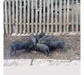продаются вьетнамские поросята - Сельхоз животные в Евпатории