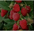Продажа саженцев малины - Саженцы, растения в Крыму