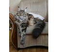 Кошка мейн-кун пропала из приюта на Фиоленте - Бюро находок в Севастополе