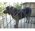 Отдам кавказскую овчарку бесплатно - Собаки в Севастополе