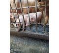 Продаются поросята!!! - Сельхоз животные в Бахчисарае