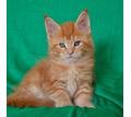 Продам котиков Мейн-кун. С 15 апреля готовы  к переезду. - Кошки в Севастополе