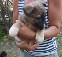 Щенки -метисы - Отдам в добрые руки в Крыму