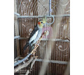 Продам попугая Корелла - Птицы в Севастополе