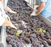 Разнорабочий на переработку винограда - Сельское хозяйство, агробизнес в Симферополе
