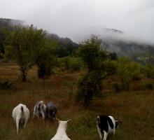 Срочно.Молочные козы. - Сельхоз животные в Бахчисарае