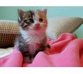 Котята красивой кошки в добрые руки - Кошки в Крыму