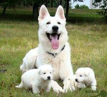 Продаются щенки белой швейцарской овчарки - Собаки в Симферополе