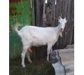 Срочно продам коз - Сельхоз животные в Севастополе