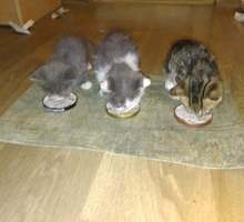 Отдам котенка - Кошки в Севастополе