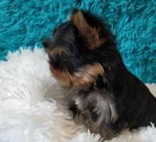 Йоркширский терьер, малыши беби фейс - Собаки в Симферополе