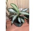 Домашние растения - аглаонема - Саженцы, растения в Севастополе