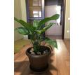 Домашние растения -Спатифиллум - Саженцы, растения в Севастополе