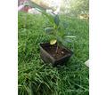 Продам саженцы лавровишни - Саженцы, растения в Севастополе