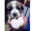 Щенки Алабая (среднеазиатской овчарки) продам - Собаки в Севастополе