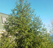 Русская живая ель с шишками - Саженцы, растения в Алуште