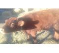 Продается бычок - Сельхоз животные в Белогорске