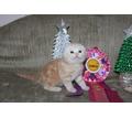 Самые красивые шотландские котята - Кошки в Симферополе
