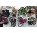 декоративнолиственные бегонии - Саженцы, растения в Севастополе