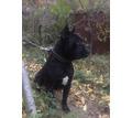 Кане-корсо,великолепные щенки - Собаки в Симферополе