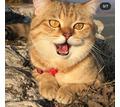 вязка с золотым Шотландским котиком - Кошки в Крыму