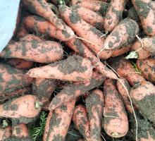 Продам морковь! - Эко-продукты, фрукты, овощи в Джанкое