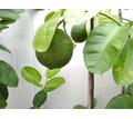 Деревца лимонов с плодами и декоративных растений - Саженцы, растения в Крыму