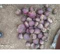 Продаю свеклу - Эко-продукты, фрукты, овощи в Симферополе