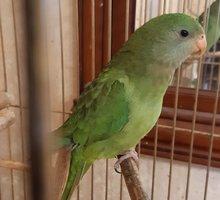 Попугай баррабандов ручной - купить в Севастополе - Птицы в Севастополе