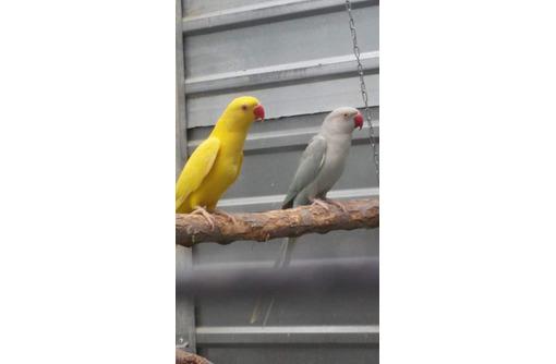 ожереловый попугай, фото — «Реклама Феодосии»