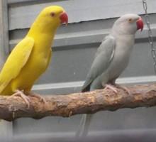 ожереловый попугай - Птицы в Феодосии