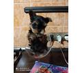 Йорк мини и мелкий стандарт - Собаки в Бахчисарае