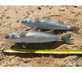 Маруська \кефаль подводной охоты - Активный отдых в Крыму