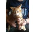 Кошечки Мейн-куночки д.р.02.12.2020 - Кошки в Евпатории