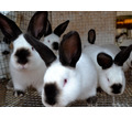 Продам калифорнийских кроликов - Сельхоз животные в Севастополе