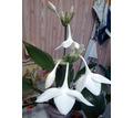 Эухарис молодые растения - Саженцы, растения в Севастополе