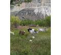 Молочные козы. - Сельхоз животные в Бахчисарае