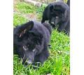 Супер черный немец с родословной - Собаки в Алуште