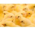 Суточные цыплята - Птицы в Севастополе