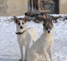 Щенки в добрые руки - Собаки в Симферополе