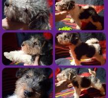 щенки фокстерьера - Собаки в Симферополе