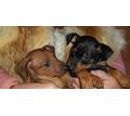Красивые щенки цвергпинчера - Собаки в Севастополе