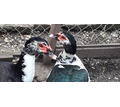 Продам уток индоутки (утаки и уточки) - Сельхоз животные в Севастополе