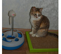 Котята 3 мес. Девчонки - Кошки в Севастополе